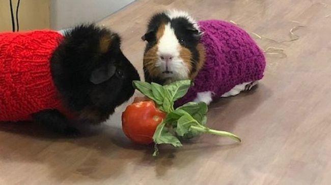 Ветеринары попросили связать свитера для свинок Морские свиньи, Морская свинка, Ветеринария, Одежда для животных