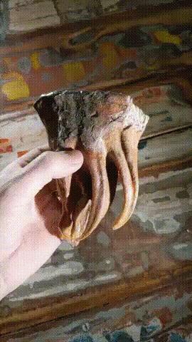 Зуб мамонтёнка