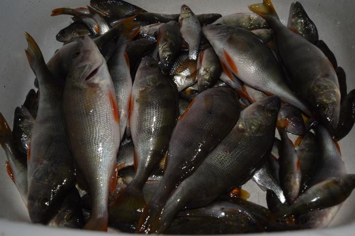 Рыбалка на глухозимье. Рыбалка, Зимняя рыбалка, Рыбалка с батей, Окунь