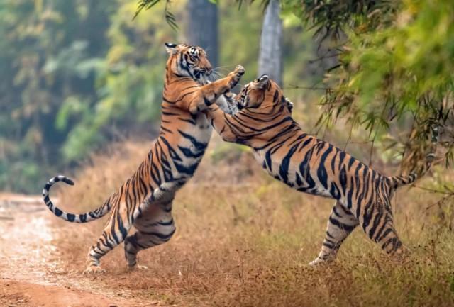 Рестлинг по тигриному Тигр, Индия, Борьба, Кот, Животные