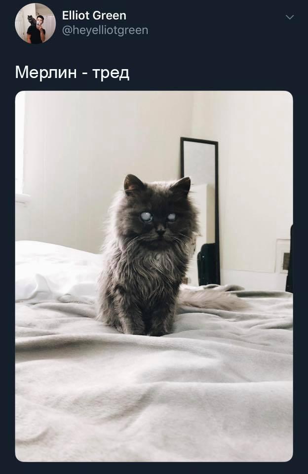 Мерлин - волшебный кот. Кот, Особенный, Домашний любимец, Красавчик, Тред, Перевел сам, Длиннопост