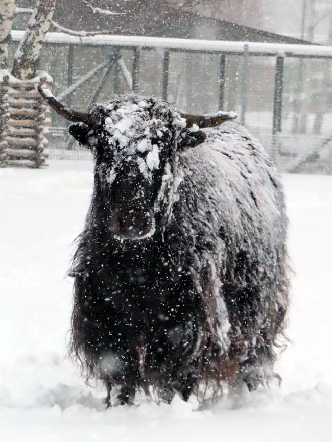 Снежные яки Яки, Домашний як, Зоопарк, Таллиннский зоопарк, Снег, Длиннопост