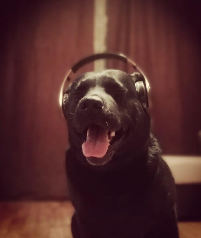 Всё коты, да кошки, а мой сабокен любит слушать музыку Собака, Музыка, Наушники, Лабрадор
