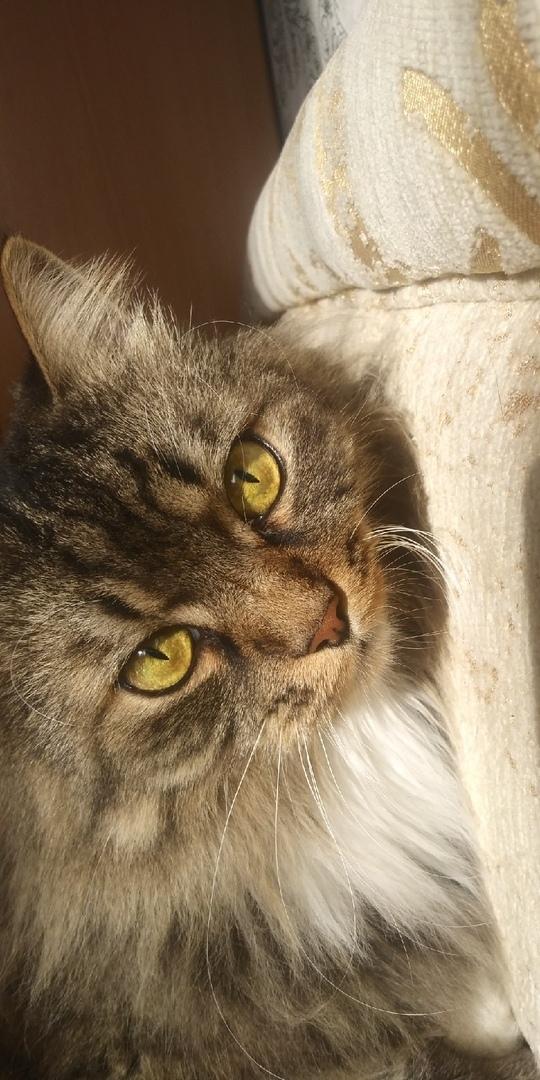 Котомодель. Кот, Пушистый, Фотография, Домашние животные