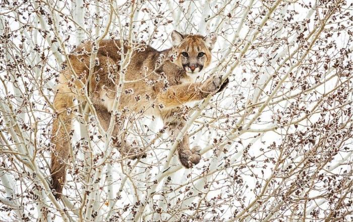 Пумы тоже котики Пума, Животные, Кот, Дерево, Спрятался