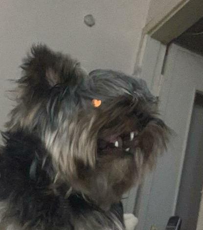 Посланник ада Йоркширский терьер, Собака