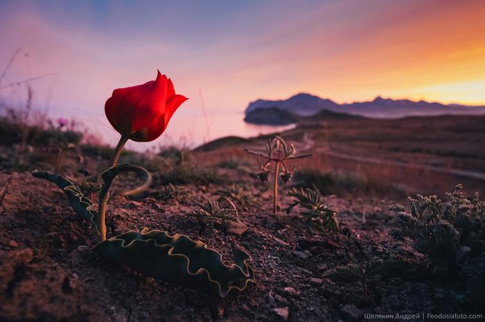 Весна в Крыму Фотография, Тюльпаны, Крым, Весна, Природа, Закат, Цветы, Море