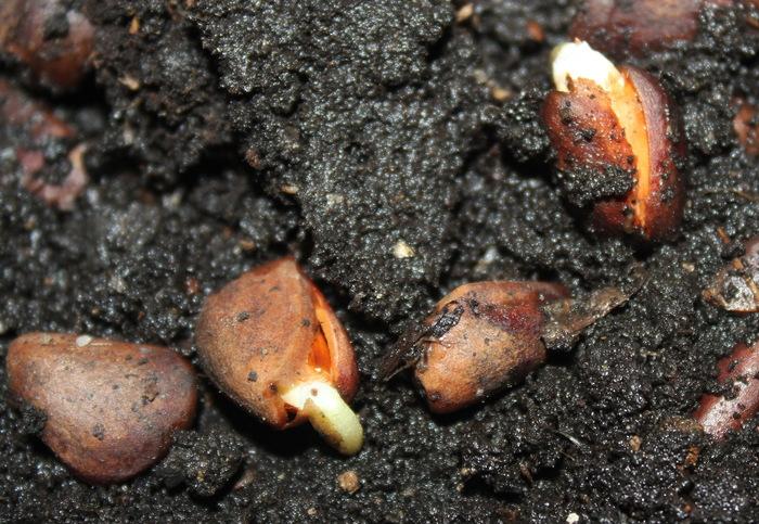Рождение кедра. Кедр, Кедровые орешки, Посадка, Всходы, Длиннопост