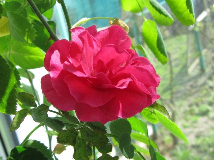 Вот роза для моего единственного подписчика)