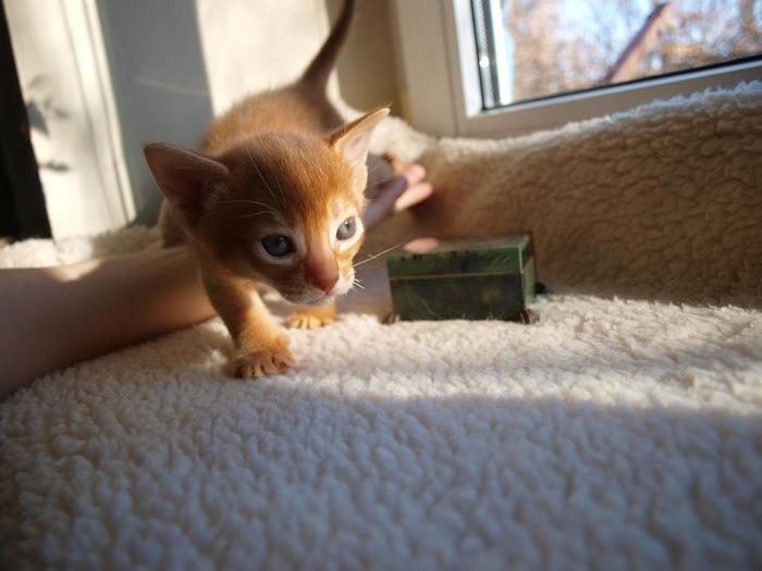 Абиссинский выводок Абиссинская кошка, Питомник, Кот, Котята, Дикий, Длиннопост, Животные