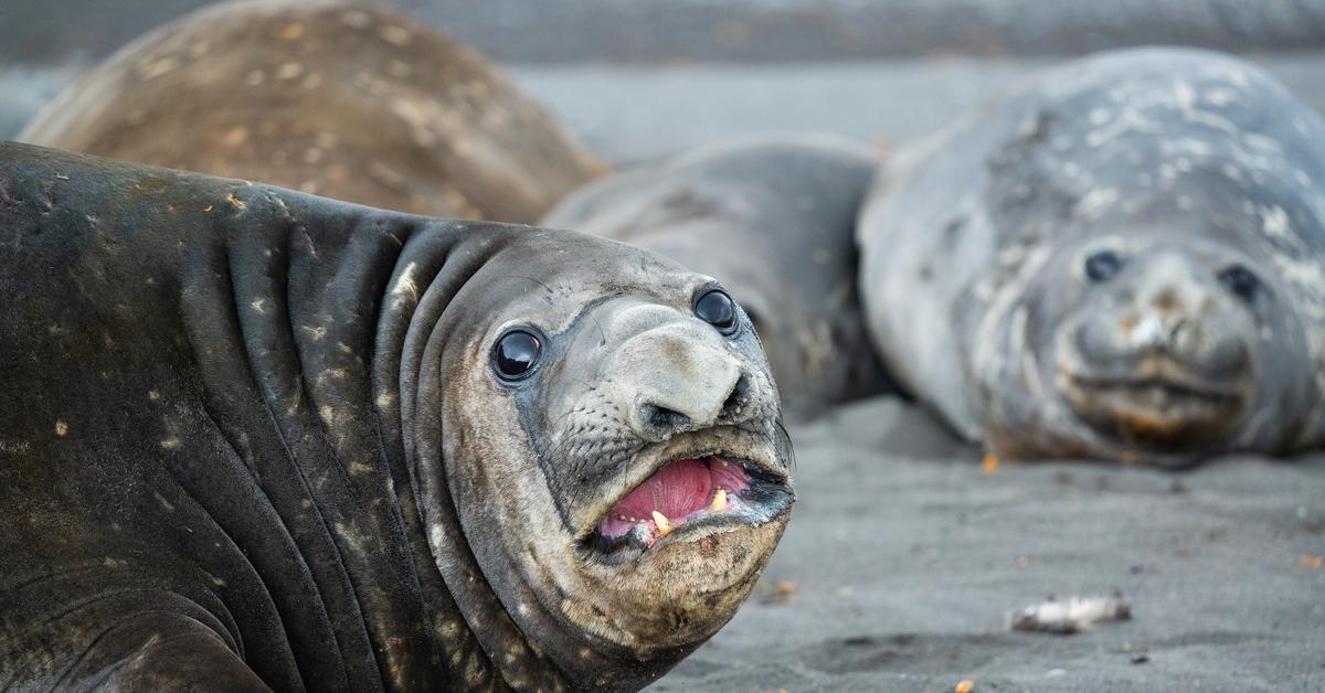 того, фото морского слона животное определённо