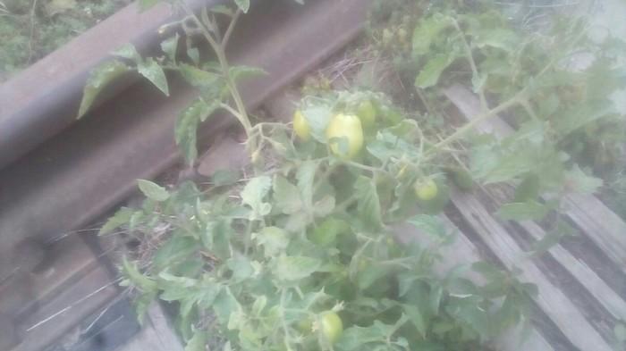 У кого то помидоры в теплице плохо растут, а у кого то как сорняк-на рельсах Помидор, Снимал на тапочек, Рельсы, Тяга к жизни