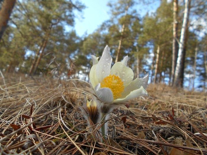Совсем скоро Весна, Цветы, Прострел, Фотография, Длиннопост