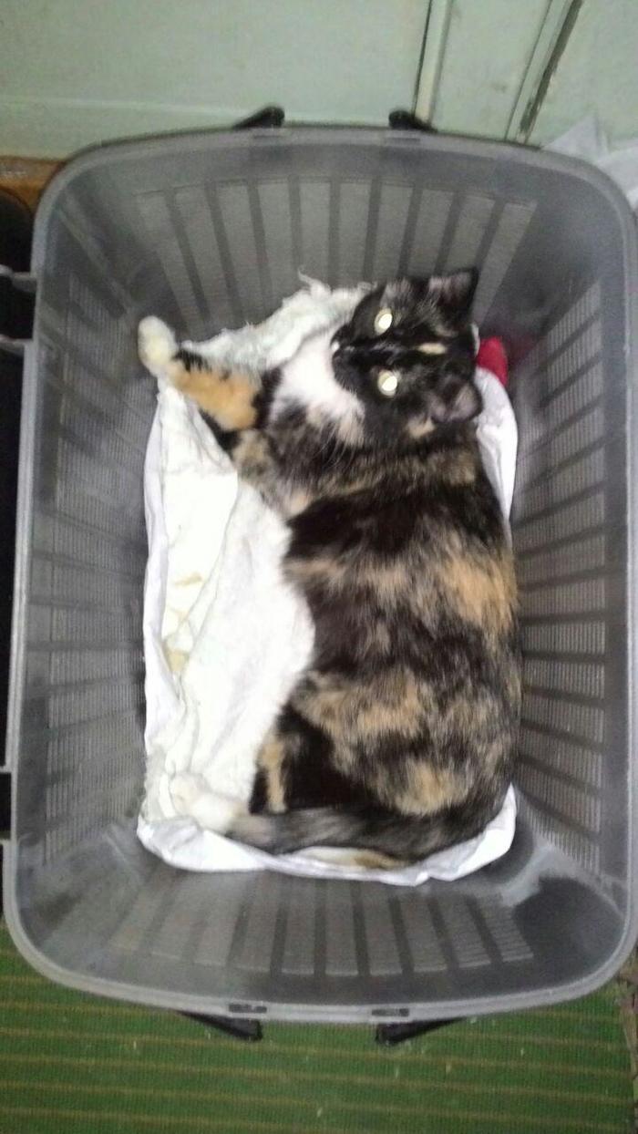Трехцветная кошка Кот, Трехцветная кошка, Помощь животным, Длиннопост, Кемерово, В добрые руки, Без рейтинга