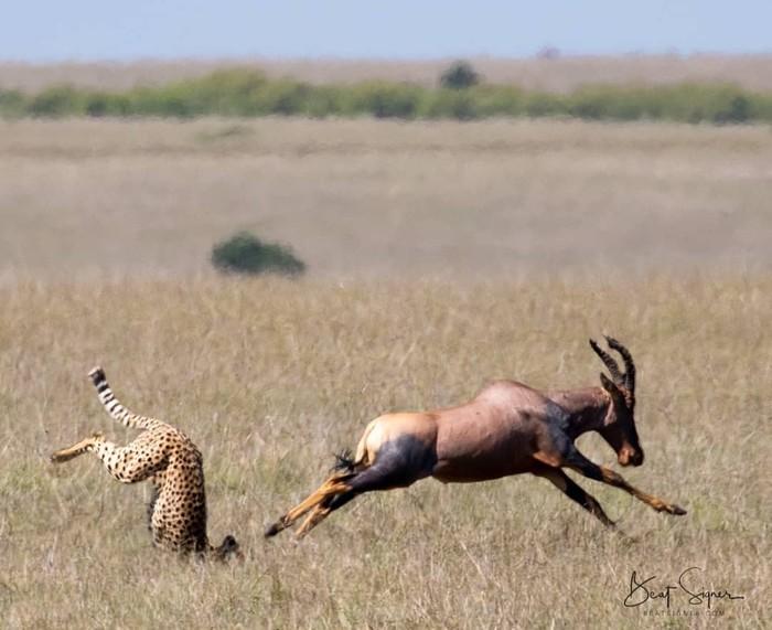 Неудачная охота Фотография, Животные, Гепард