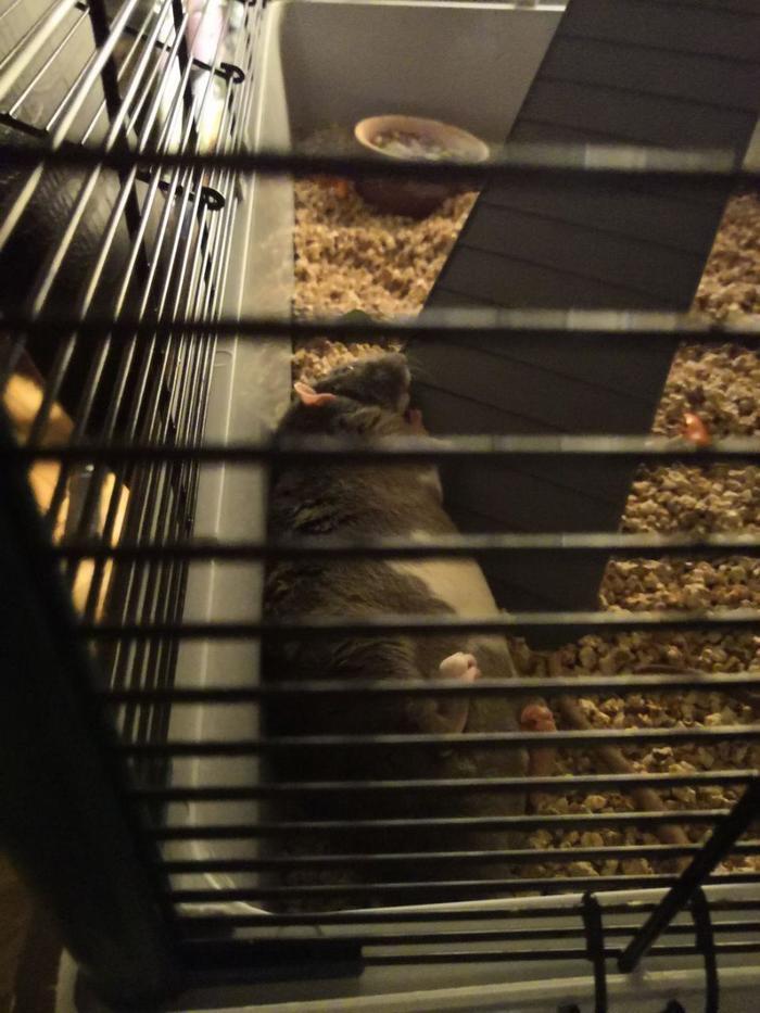Когда ты мягок-ты можешь спать на любой стороне. Крыса дамбо, Крыса, Крысавчик, Крысиные хроники, Декоративные крысы, Длиннопост