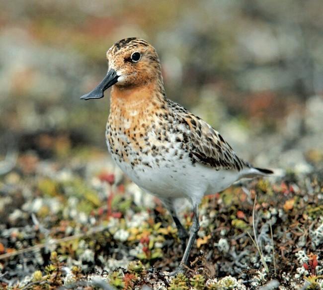 Лопатень Птицы, Животные, Природа, Чудеса природы