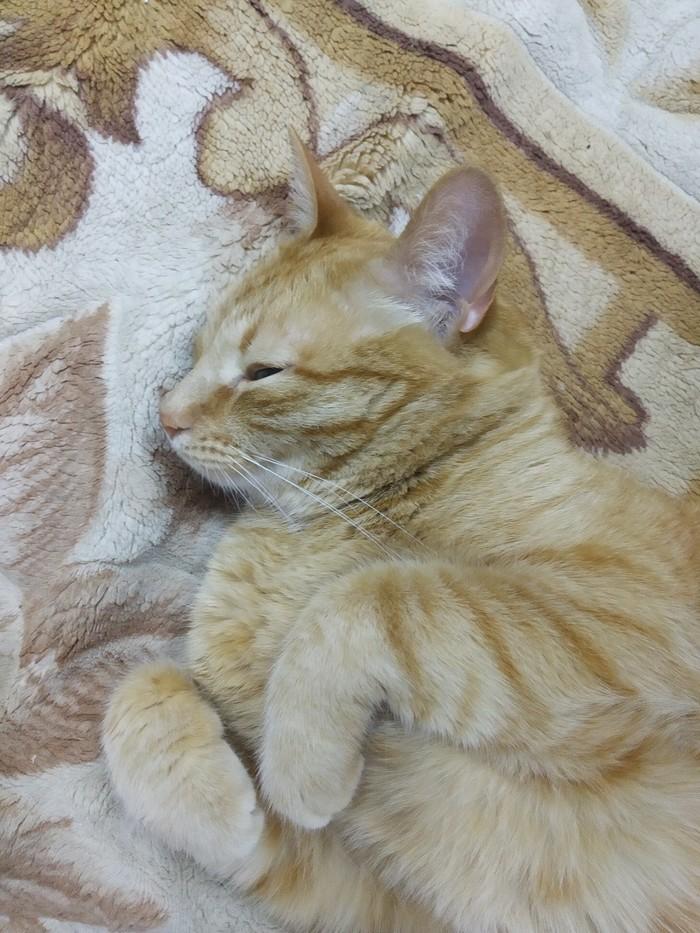 Я кот, мне норм) Кот, Длиннопост, Рыжий, Лежит, Домашние животные, Животные