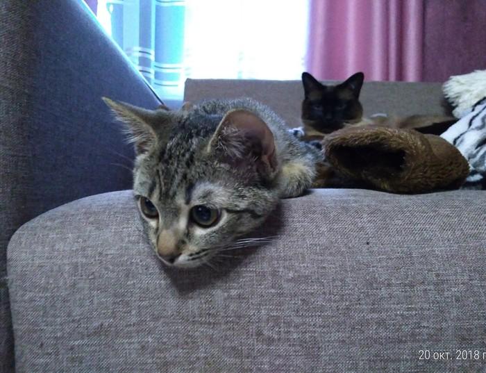 Приёмыш Кот, Длиннопост, Домашние животные