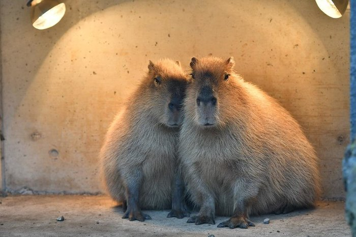 Немного о Капибаре или самый большой грызун в мире (специально для Vladikus95) Капибара, Грызуны, Длиннопост