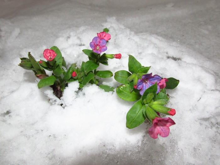 Сегодняшняя медуница. Москва. Цветы, Медуница, Весна, Москва