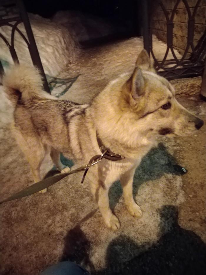 Найдена лайка!ищу хозяина Найдена собака, Собака, Лайка, Альметьевск, Без рейтинга, Длиннопост