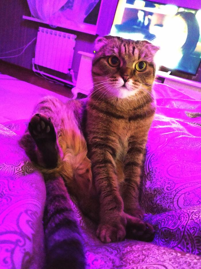 Котэ пришло с претензией. Кот, Претензия, Шотландская вислоухая, Домашние животные