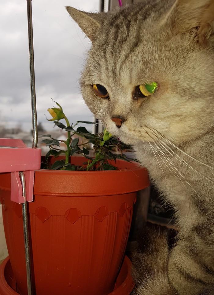 Пожиратель цветов Кот, Серый кот, Красавчик, Роза, Грызет, Милота, Длиннопост, Домашние животные