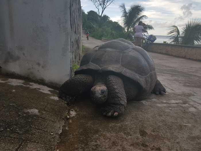 Черепахи на острове Ла Диг Сейшелы, Черепаха