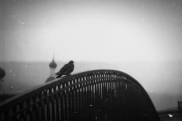 Голубиная драма Любовь и голуби, Черно-Белое, Начинающий фотограф, Canon 50D, Гелиос 44-2, Длиннопост