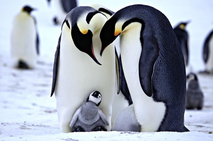 Милые пингвины