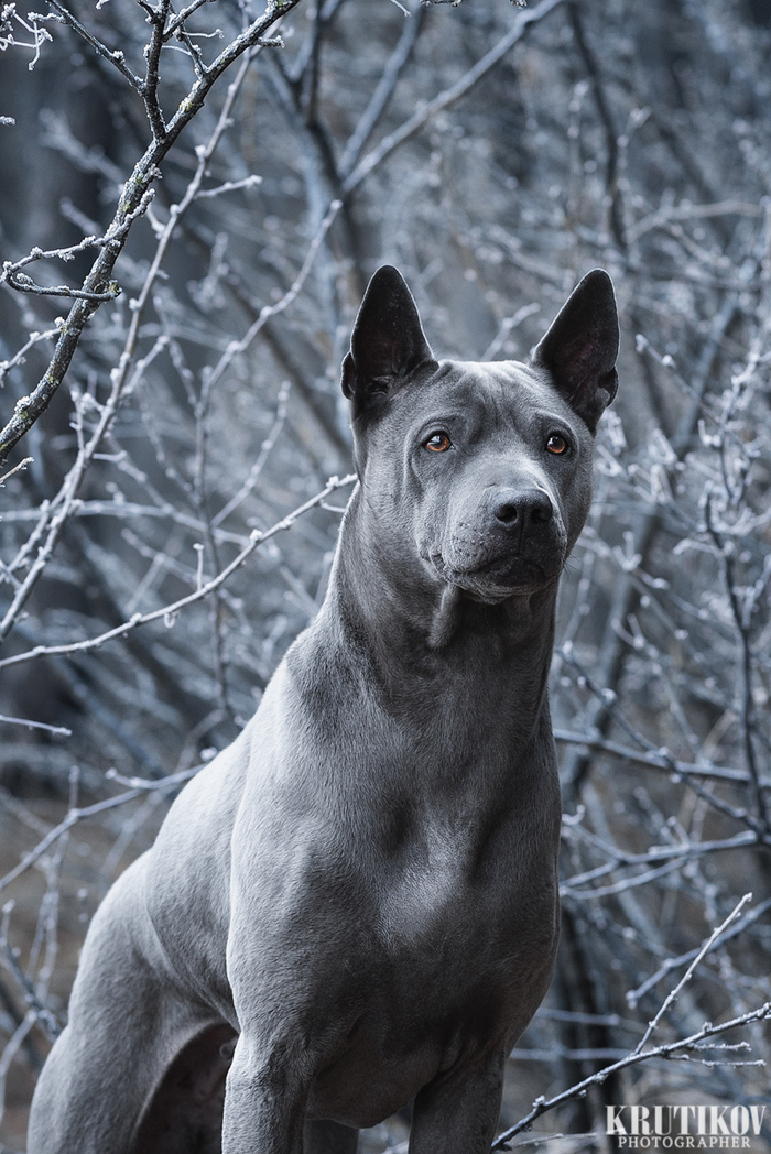 Юна и холодное утро. Собака, Тайский риджбек, Холод, Анималистика, Nikon D750, Фотография
