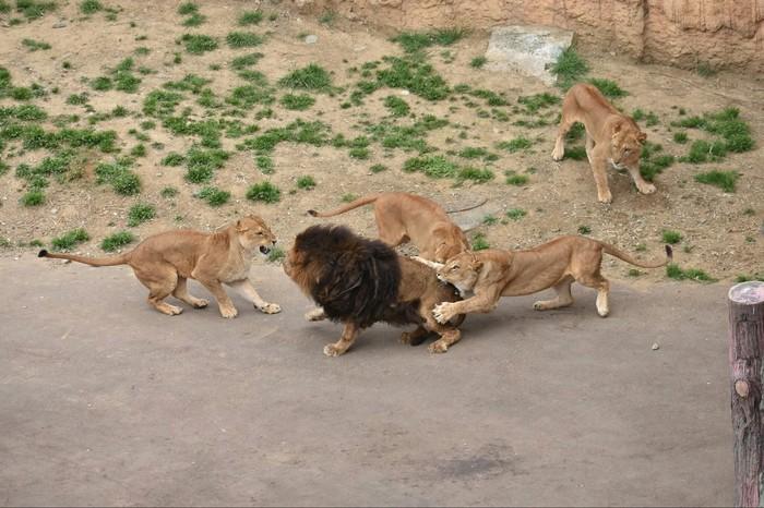 Когда у тебя гарем Лев, Зоопарк, Гарем, Длиннопост, Кусь