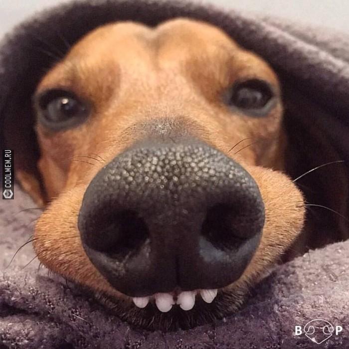 Носатая милота Собака, Живность, Нос, Милота, Такса, Порода, Домашние животные