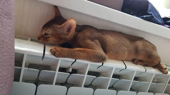 Абиссинского малыша вам в ленту Кот, Котята, Кошачья любовь, Длиннопост, Абиссинская кошка, Домашние животные