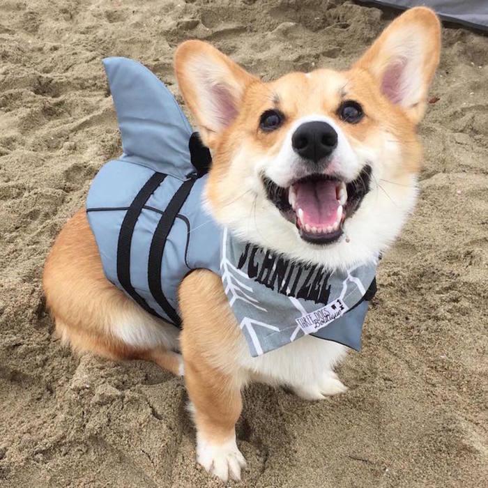 — Как я тебя обманул! Ты думал, я акула, а я коргула! Собака, Корги, Акула, Улыбка, Милота, Костюм, Пляж, Домашние животные
