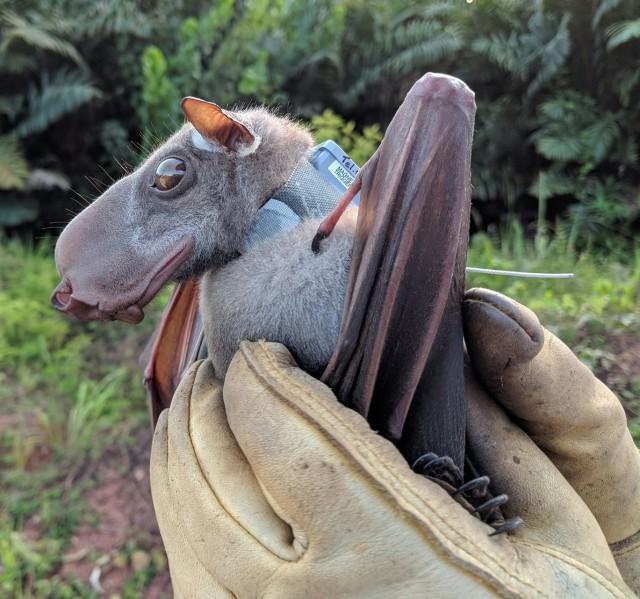 Обыкновенный Упырь . Природа, Африка, Крыланы