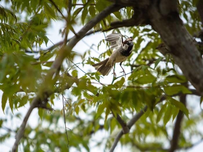 Воробей взлетающий Фотография, Птицы, Воробей, Движение
