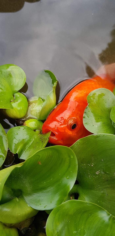 Карась Карась, Note 8, Эйхорния, Рыба, Пруд, Золотая Рыбка, Начинающий фотограф