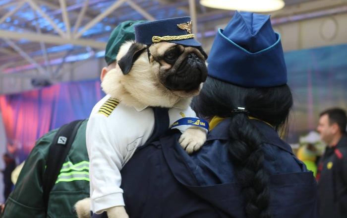 Авиалинии хороших мальчиков Мопс, Пилот, Фотография, Собака