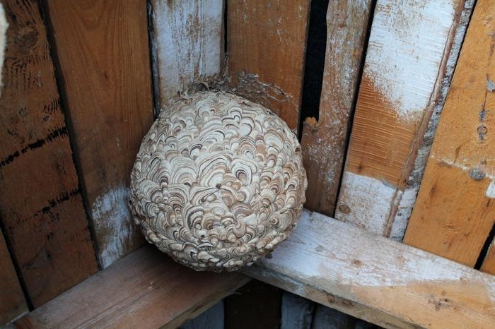 Красивый домик насекомусов Насекомые, Фотография, Осиное гнездо