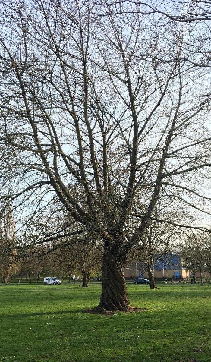 Необычное дерево растёт рядом с моим домом. Наверное, это несколько деревьев сплелись в одно? Дерево, Природа, Необычное, Длиннопост
