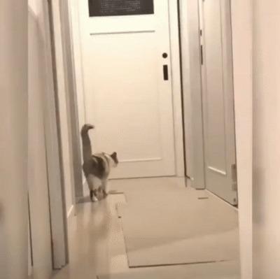 Реакция кошки Гифка, Кот, Реакция, Неожиданность
