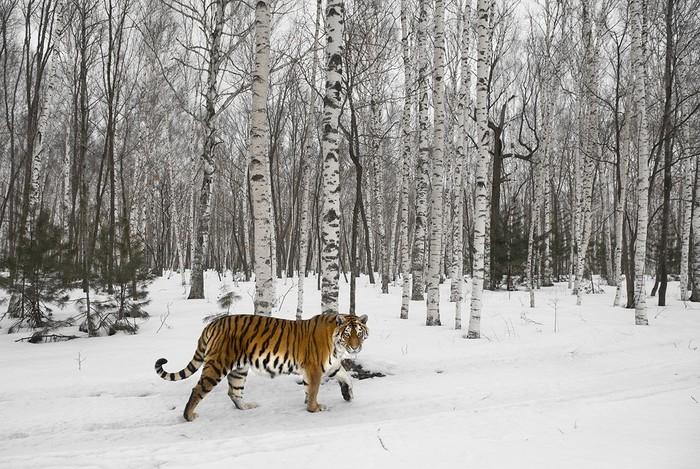 Амурский тигр в берёзовом лесу