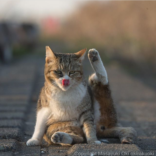 Хоба-босс Кот, Хоба