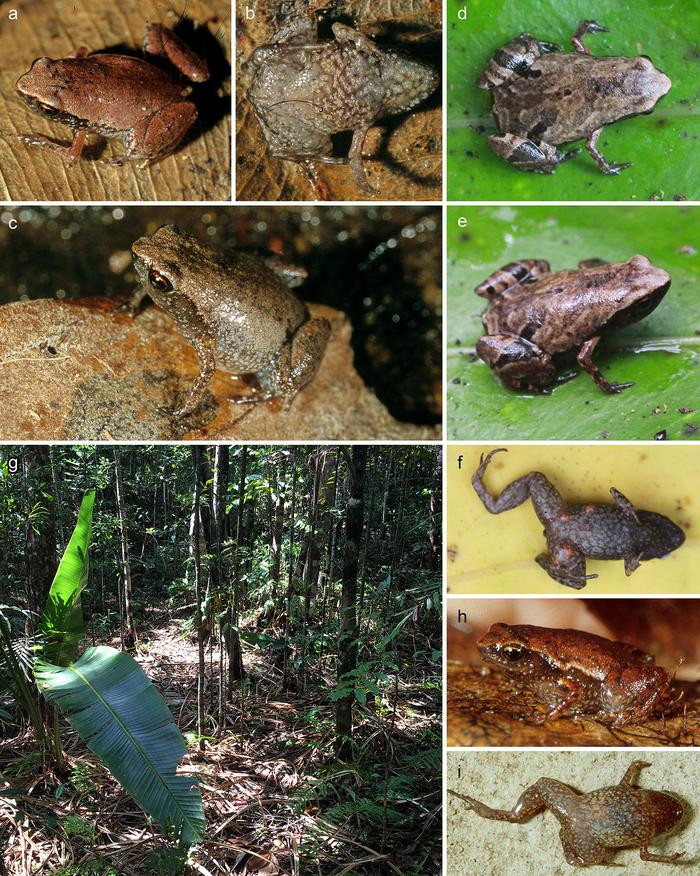 На Мадагаскаре нашли пять видов крохотных лягушек не больше человеческого ногтя Наука, Новости, Биология, Животные, Лягушки, Мадагаскар, Милота, Длиннопост