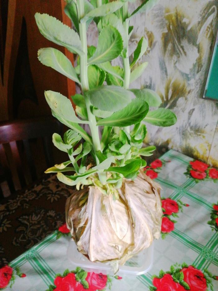 Забыл капусту на балконе Капуста, Растения, Фотография, Длиннопост