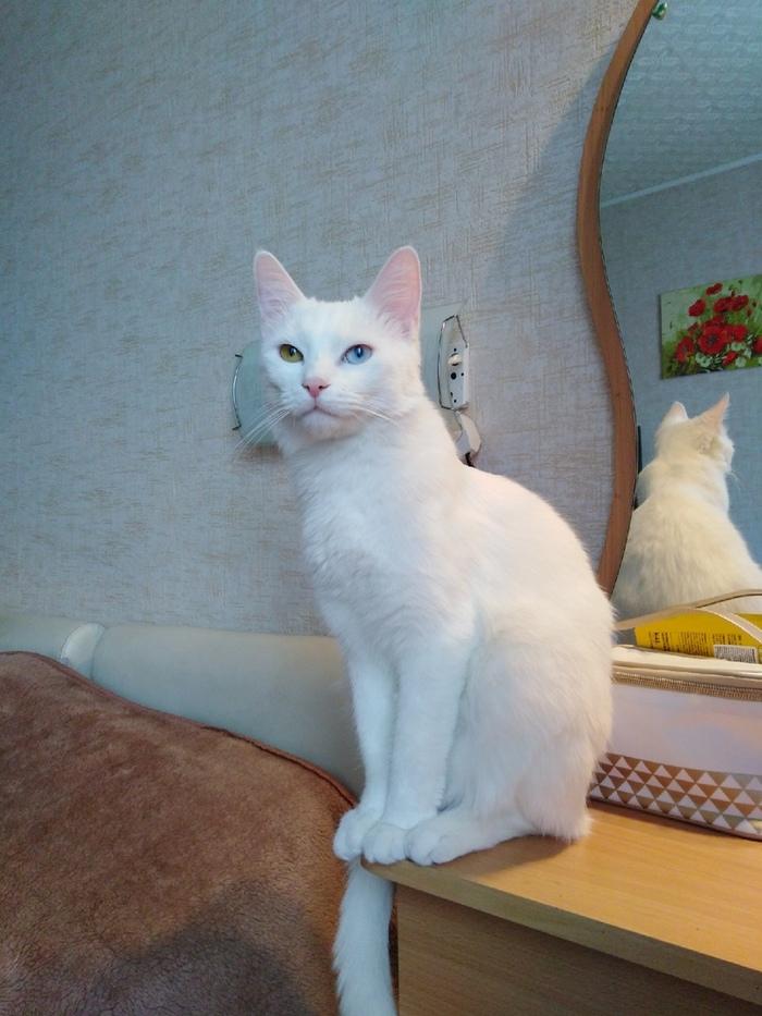 Порода котика Голубые глаза, Зеленые глаза, Кот, Гетерохромия