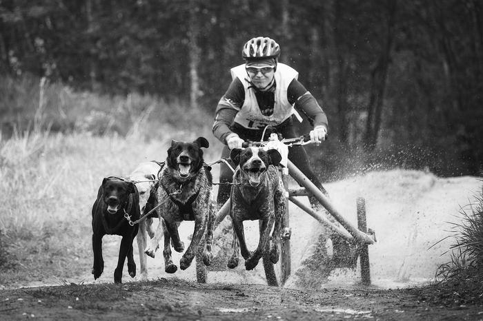 Быстрые собаки (ч.2) Собака, Ездовой спорт, Фотография, Длиннопост, Домашние животные