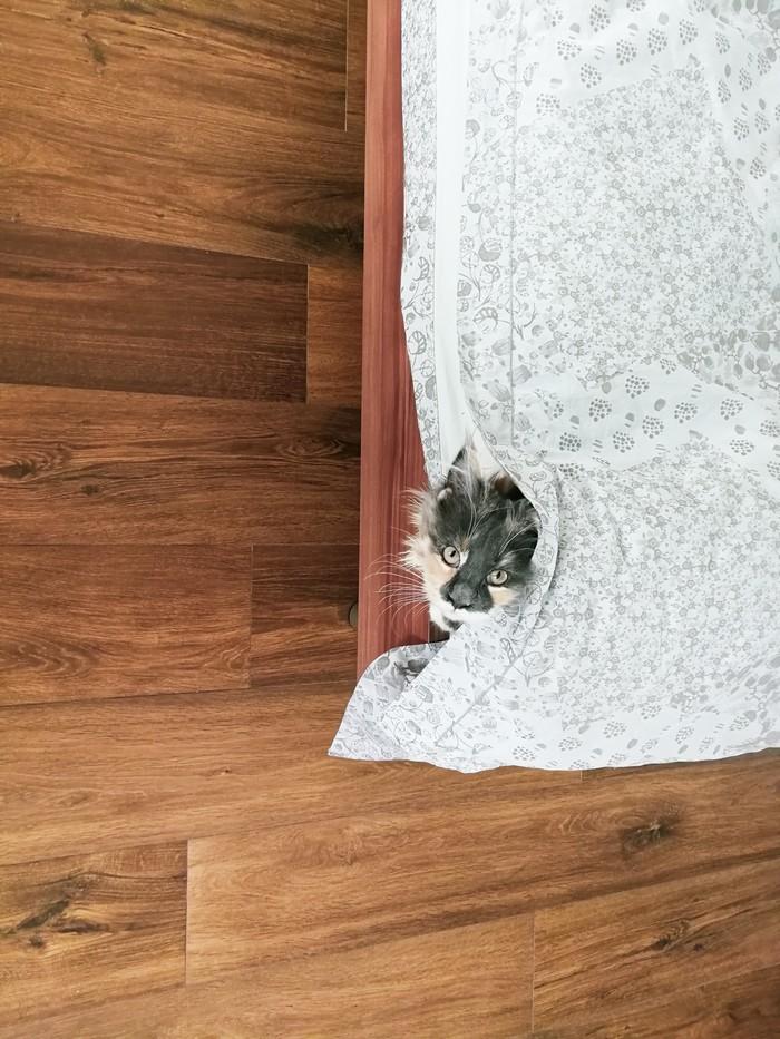 Привет Мейн-Кун, Кот, Привет